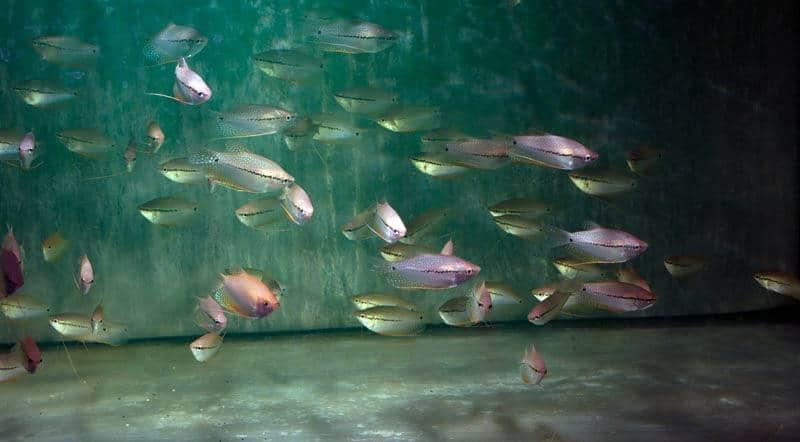Trichogaster leeri - Mosaikfadenfisch, BIO SEC, NZ