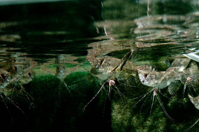 Pantodon buchholzi - Schmetterlingsfisch, WF-Nigeria