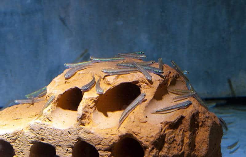 Stiphodon semoni - Neongrundel (Süßwasser), WF