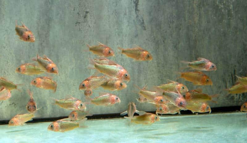 Corydoras eques - Roter Dreieckspanzerwels, WF-BRA