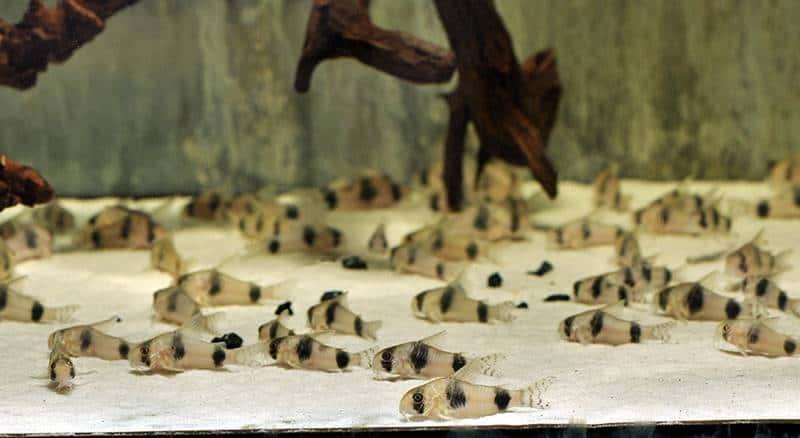 Corydoras tukano - Tukano-Panzerwels, WF-RARITÄT