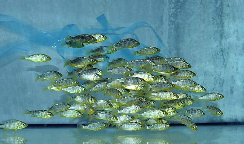 Nimbochromis venustus - Pfauenmaulbrüter, DNZ