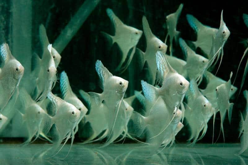 Pterophyllum scalare - Skalar, Platin, DNZ
