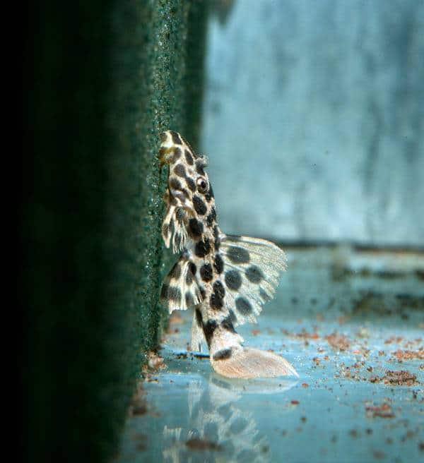 Pseudacanthicus sp. - L 114 Leopard-Kaktuswels, WF