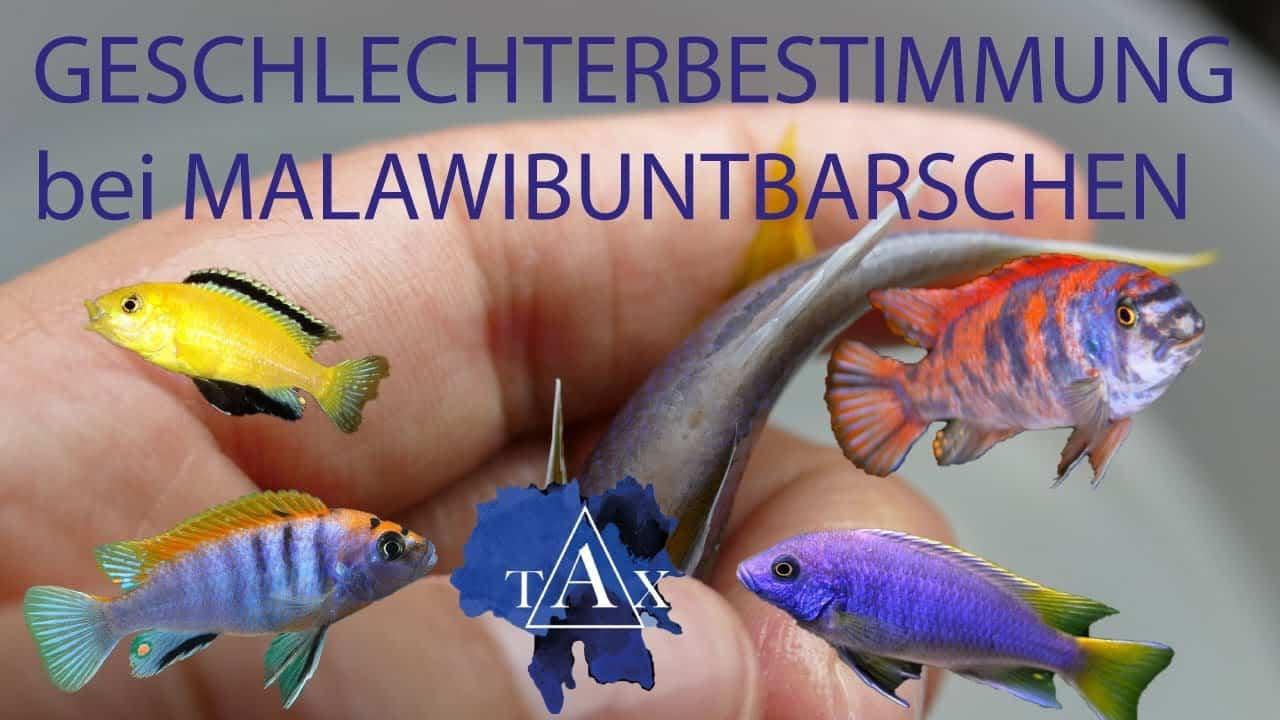 Tobis Aquaristikexzesse Video Tipp: Geschlechtsbestimmung bei Malawibuntbarschen