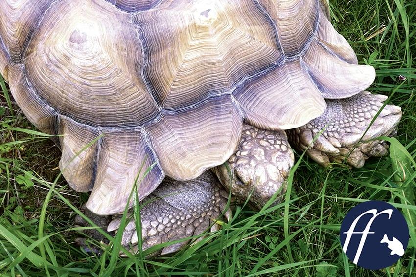 Franky Friday: Die beliebte Spornschildkröte - zahm & imposant