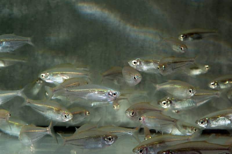 Parachela oxygastroides - Glas-Flügelbarbe, WF-RARITÄT
