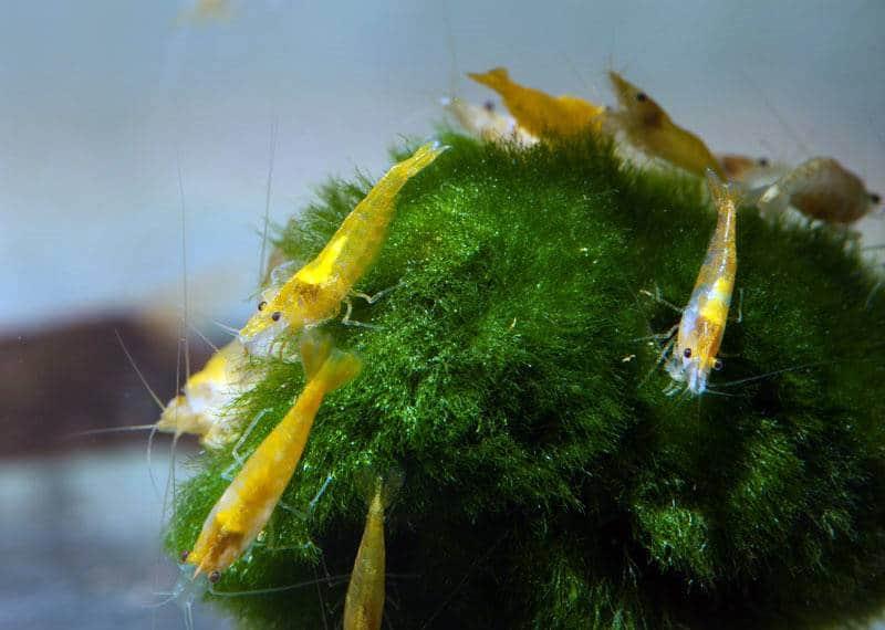 """Neocaridina davidi """"Gelb"""" - Gelbe Zwerggarnele, NZ"""
