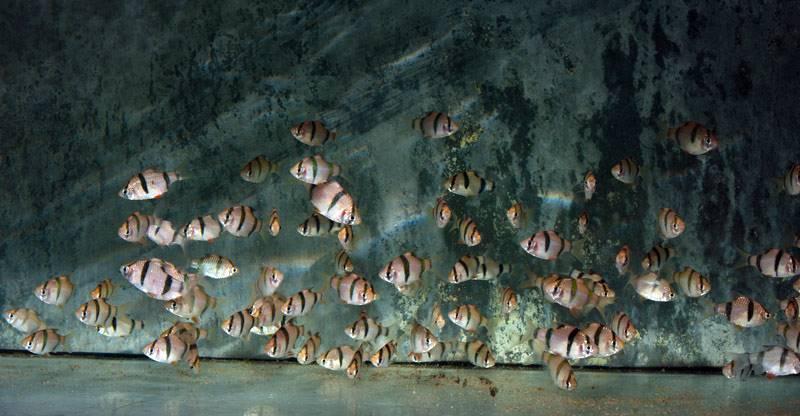 Puntigrus cf. anchisporus - Kalimantan-Gürtelbarbe, WF