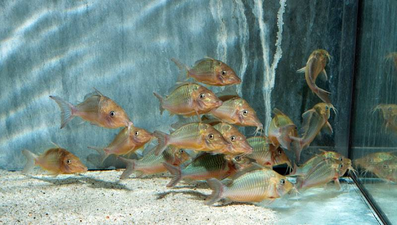 Brochis multiradiatus - Spitzkopf-Smaragdpanzerwels, WF