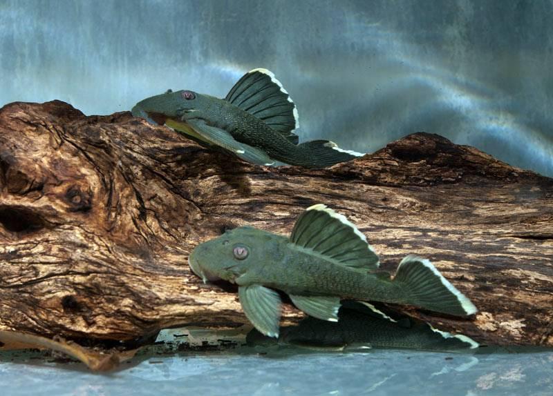 Baryancistrus chrysolomus - L 047 Magnum Pleco, WF
