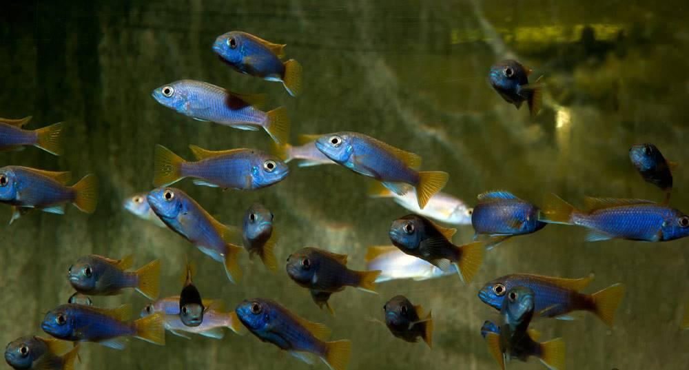 "Pseudotropheus sp. ""Acei"" - Blauer Gelbflossenmaulbrüter, EUNZ"