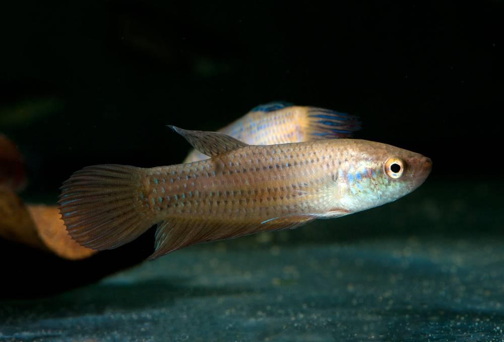 Betta smaragdina - Smaragd-Kampffisch, WF-THA